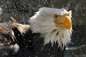 Vic Schendel - Bald Eagle Bath II