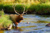 Vic Schendel - Bull Elk in the Stream