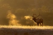 Vic Schendel - Frosty Morning Bull Elk