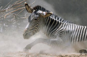 Vic Schendel - Zebra in the Dust