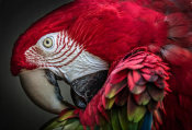European Master Photography - Red Ara Parrot