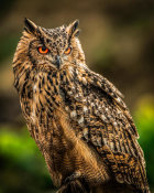 European Master Photography - Wise Owl 2