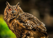 European Master Photography - Wise Owl 3