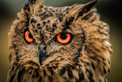 European Master Photography - Wise Owl 5