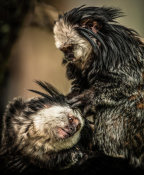 European Master Photography - Little Cute Monkeys 2