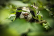 European Master Photography - Little Monkey hiding