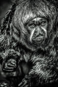 European Master Photography - Little Monkey 3 black & white