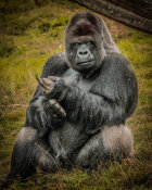 European Master Photography - The Male Gorilla black