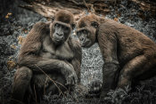 European Master Photography - Gorillas 3