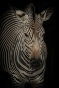 European Master Photography - Zebra 3