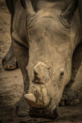 European Master Photography - Male Rhino 2
