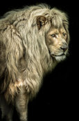 European Master Photography - Big male Lion