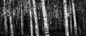 European Master Photography - Birch Trees black&white