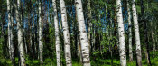 European Master Photography - Birch Trees