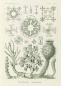 Ernst Haeckel - Glass Sponges (Hexactinellae - Glasschwamme)
