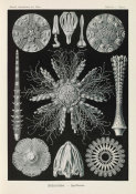 Ernst Haeckel - Sea Urchins and Sand Dollars (Echinidea - Igelsterne)
