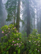 Tim Fitzharris - Rhododendron flowers and Coast Redwood trees in fog, Redwood National Park, California