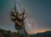 Tim Fitzharris - Great Basin Bristlecone Pine Tree and Milky Way, Inyo National Forest, California