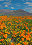 Tim Fitzharris - California Poppy flowers, superbloom, Antelope Valley, California
