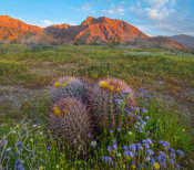 Tim Fitzharris - Desert Bluebells in spring bloom with barrel cacti, Anza-Borrego Desert State Park, California