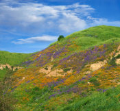 Tim Fitzharris - California Poppies and Desert Bluebells in spring bloom, Chino Hills State Park, California