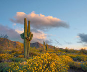 Tim Fitzharris - Saguaro cacti and Brittlebush flowers in spring, White Tank Mountains, Arizona
