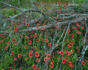 Tim Fitzharris - Indian Blanket flowers and dead Juniper tree, Inks Lake State Park, Texas