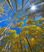 Tim Fitzharris - Quaking Aspen forest in fall, Kebler Pass, Colorado