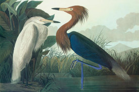 John James Audubon - Purple Heron