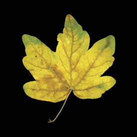 June Hunter - Yellow Maple