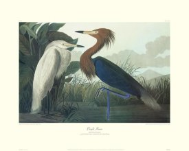 John James Audubon - Purple Heron (decorative border)