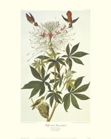 John James Audubon - Ruff-Necked Hummingbird (decorative border)