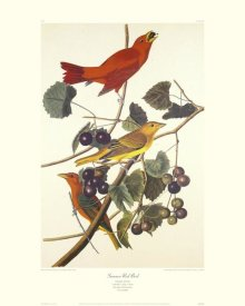 John James Audubon - Summer Red Bird (decorative border)