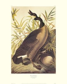 John James Audubon - Canada Goose (decorative border)