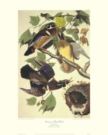 John James Audubon - Summer Or Wood Duck (decorative border)