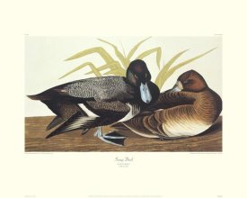John James Audubon - Scaup Duck (decorative border)