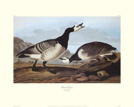 John James Audubon - Barnacle Goose (decorative border)