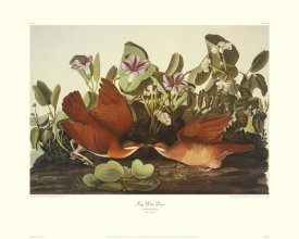 John James Audubon - Key-West Dove (decorative border)