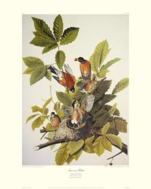 John James Audubon - American Robin (decorative border)