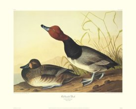 John James Audubon - Red-Headed Duck (decorative border)