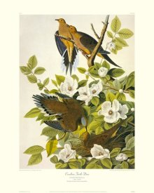 John James Audubon - Carolina Pigeon or Turtle Dove (decorative border)