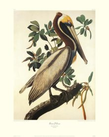 John James Audubon - Brown Pelican (decorative border)