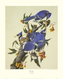 John James Audubon - Blue Jay (decorative border)