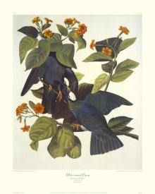 John James Audubon - White-Crowned Pigeon (decorative border)
