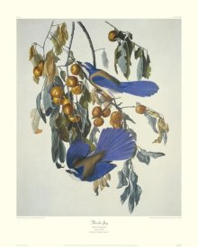 John James Audubon - Florida Jay (decorative border)