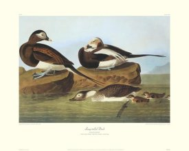 John James Audubon - Long-Tailed Duck (decorative border)