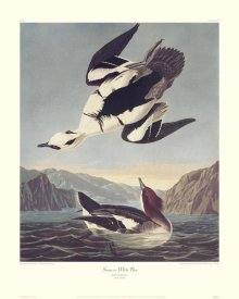 John James Audubon - Smew Or White Nun (decorative border)