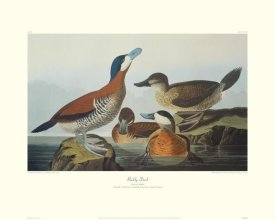 John James Audubon - Ruddy Duck (decorative border)