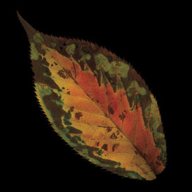 June Hunter - Cherry Leaf on Black
