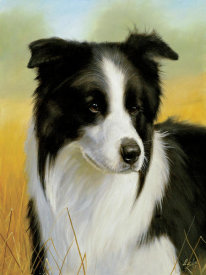 John Silver - Border Collie